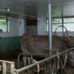Kühe mit Schwalbe bei Pius Ulrich